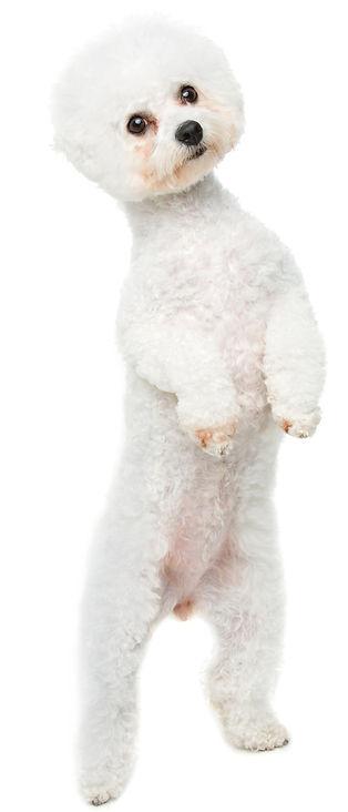 beautiful bichon frisee dog_edited_edite