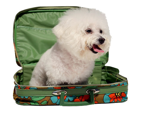 fifi the bichon frise sits in a 1970s era suitcase representing traveling with your pet is...ted.jpg