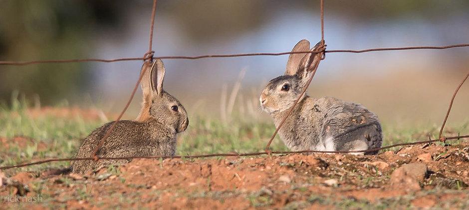 Rabbits_PSC.jpg