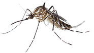 mosquito aedes aegypti .png