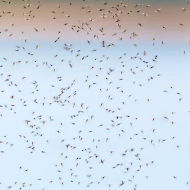 Researchers to Release Genetically Engineered Mosquitoes in Africa for First Time
