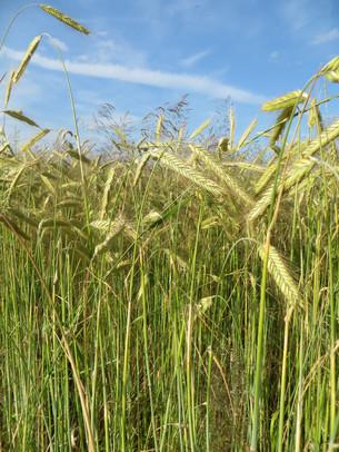 Regulating Gene-Edited Crops