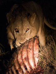 lion eating wildebeest ben hemmings media