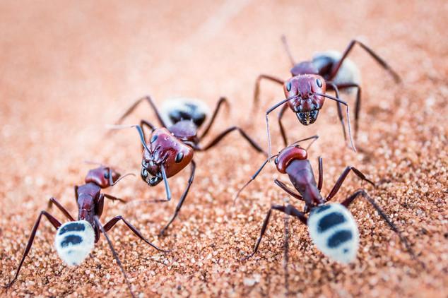 A portfolio image Namib Desert Ants in Macro by Toronto based commercial photographer BEN HEMMINGS MEDIA