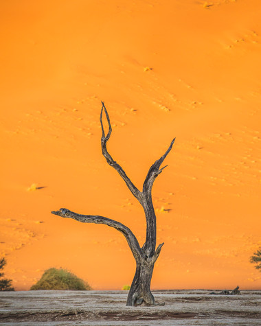 A tree at the Deadvlei pan in Namibia against the illuminated backdrop of an orange dune