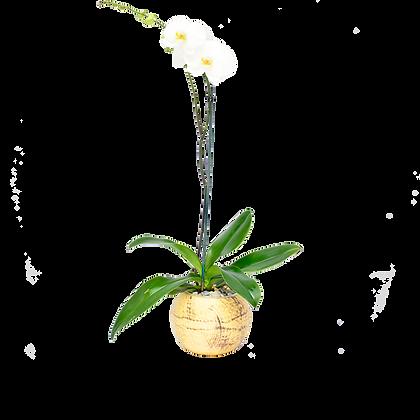 Orquídea Boonn