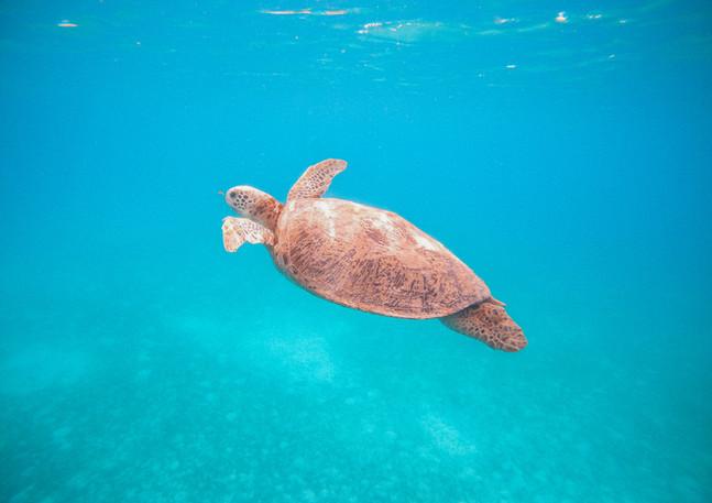 'Flying' Green Sea Turtle