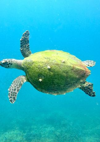 The Hawkbill Turtle