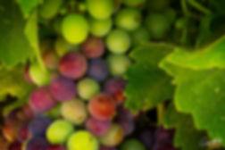 Grapes, grape vine, wine,
