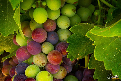 Grapes, grape vine, wine,