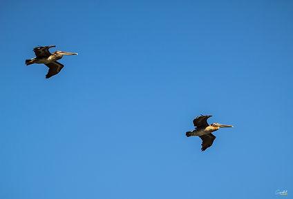 Pelican, Flying, Birds,