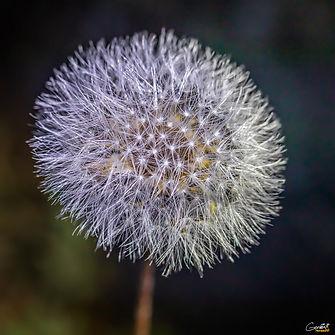 Dandelion, Weed, Macro