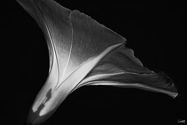 Morning-Glory2-B&W-WEB.jpg