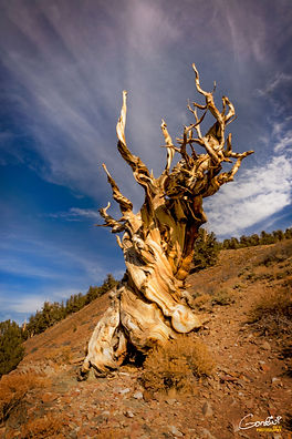 tree, Bristlecone pine, forest, oldest tree, old