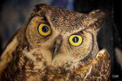 Great Horned Owl, Owl, Closeup,