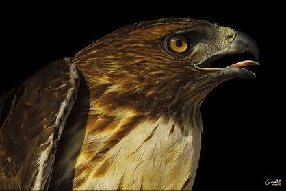 Hawk. Redtail Hawk, Bird, Closeup,