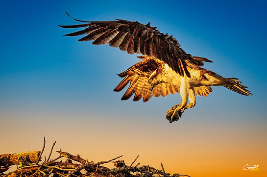 Osprey, Fish Hawk, Bird, Flight