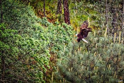 Eagle, Bald Eagle, Flying, Bird, Forest,