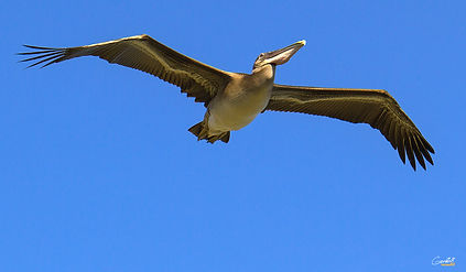Pelican, Bird, Flying, Closeup,