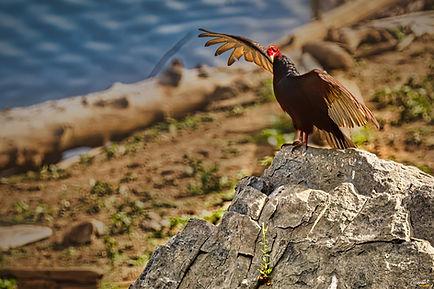 Turkey Vulture, Bird, Closeup, Water,