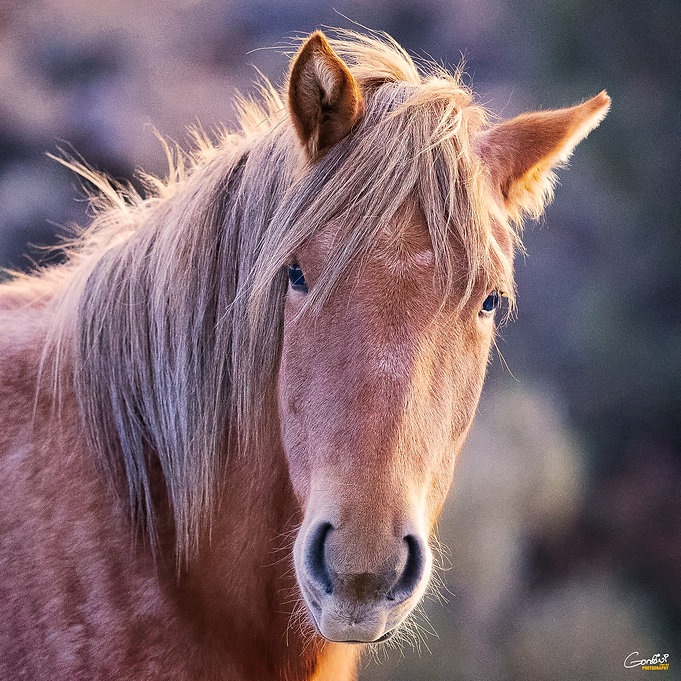 horse, mustang, wild mustang, wild horse, filly, Nevada. Pine Nut Range, Emmie,