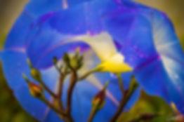 morning glory, flower, macro, closeup,