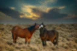 mustangs, wild mustang, horse, Nevada, Pine Nut Range, Zorro, Rocket,