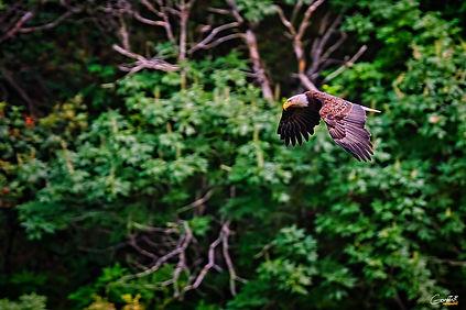Eagle, Bald Eagle, Bird, Flying, Forest,