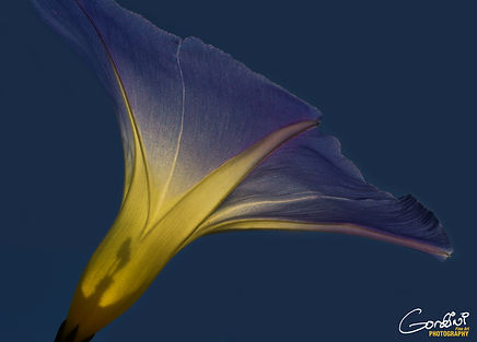 morning glory, flower, macro, closeup,