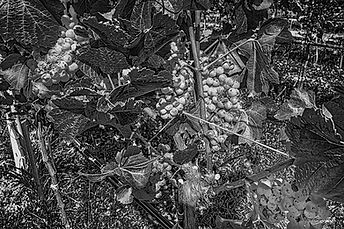 VineLand-B&W-WEB.jpg