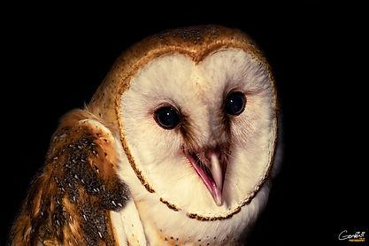 Barn Owl, Owl, Closeup,