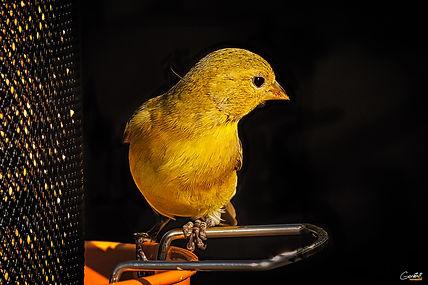 Yellow Finch, Bird