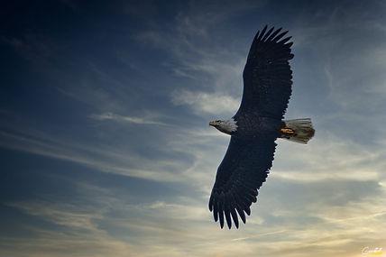 Eagle, Bald Eagle, Bird, Flying,