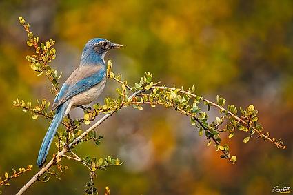 Western Scrub Jay, Bird