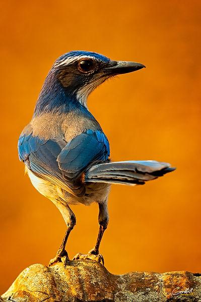 Bluebird, Scrub Jay, Bird