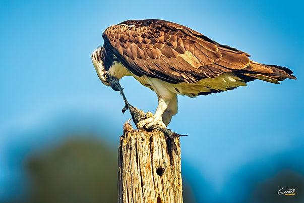 Osprey, Sea Hawk, Bird