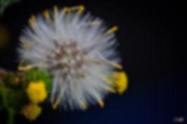 weed, Dandelion, buds, flower,