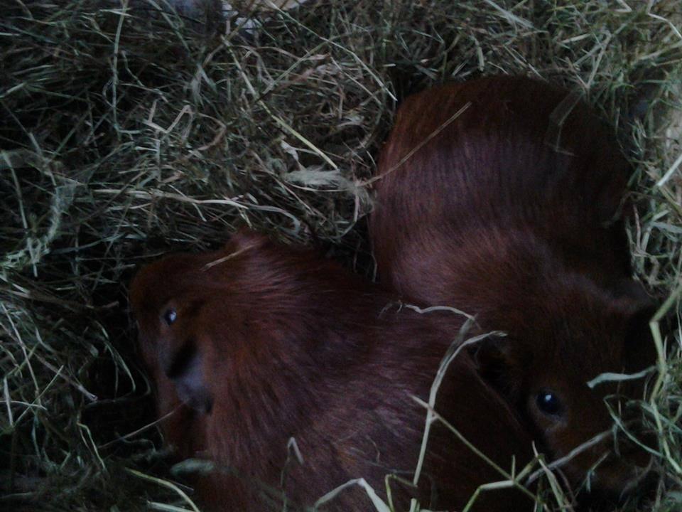 Guinea pigs 3.jpg