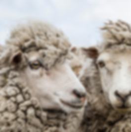 stock-photo-sheep-waiting-to-be-shorn-at