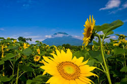Mt Youtei with sunflowers