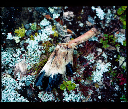 Reindeer remains in northern Sweden (120 film)