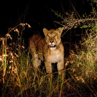 Lioness of the night in Kruger National Park, South Africa