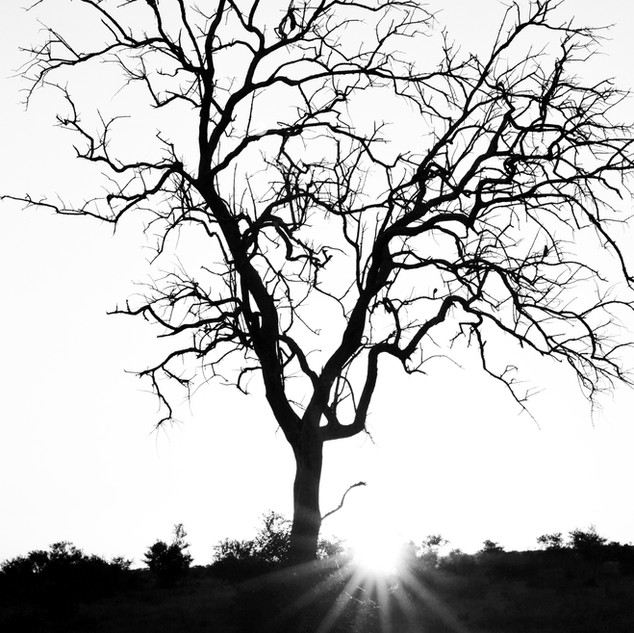 Wizened tree at sunset in South Africa