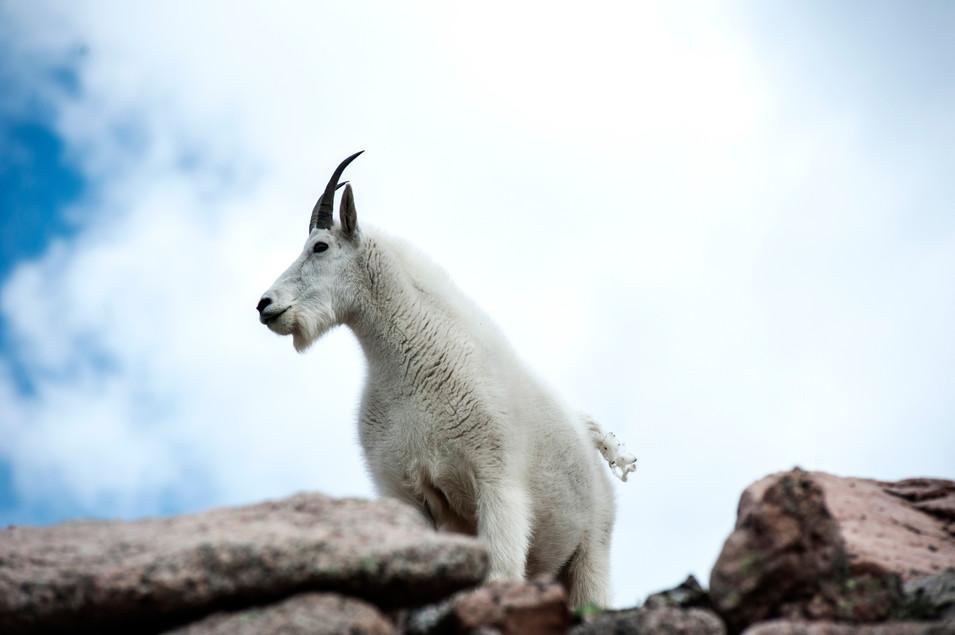 A better climber than I'll ever be at Mt. Evans, Colorado