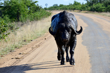 """Get your own road"" - Cape Buffalo in South Africa"