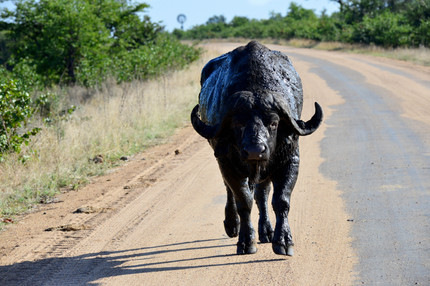 """""""Get your own road"""" - Cape Buffalo in South Africa"""