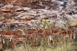 Group camouflage of the Impala in Kruger National Park, South Africa