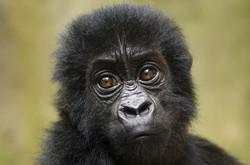 Eastern Lowland Baby Gorilla