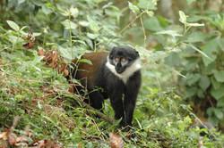 Itombwe Mountain Monkey