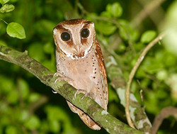Itombwe Owl